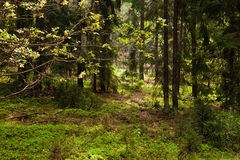 European forest Stock Image