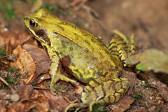 European forest frog Royalty Free Stock Image