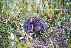 European forest hedgehog Stock Photo