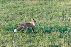 European fox (Serbia) Stock Photography