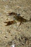 European freshwater crayfish. (Austropotamobius pallipes Stock Photo