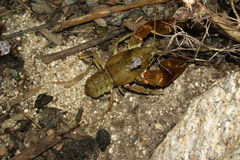 European freshwater crayfish. (Austropotamobius pallipes Royalty Free Stock Photography