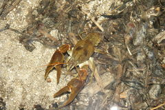 European freshwater crayfish Stock Images