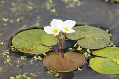 European frog's-bit (Hydrocharis morsus-ranae) stock photos