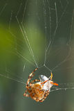 European garden spider Stock Images