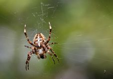 European garden spider Royalty Free Stock Photography