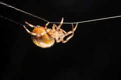 European garden spider Stock Image