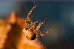 European garden spider Royalty Free Stock Images