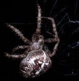 European garden spider Stock Photography