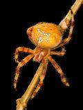 European garden spider Royalty Free Stock Photography