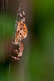 European garden spider. Female European garden spider (Araneus Diadematus) on the web Royalty Free Stock Photography