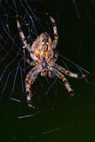 European garden spider Stock Photos