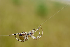 European garden spider. Diadem spider, cross spider, or cross orbweaver (Araneus diadematus) is a very common and well-known orb-weaver spider in Europe and Royalty Free Stock Image