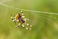 European garden spider Royalty Free Stock Photos