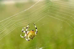 European garden spider. (Araneus diadematus) making a network Stock Photo