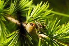 European garden spider. (Araneus diadematus) on larch tree Stock Images