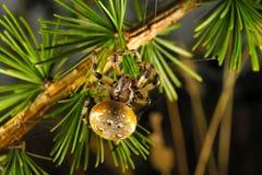 European garden spider. (Araneus diadematus) on larch tree Stock Image