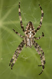 European Garden Spider. Commonly cross spider (Araneus diadematus Stock Photo
