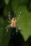 European garden spider (Araneus diadematus) Stock Photos