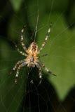 European garden spider (Araneus diadematus). In their Net Stock Photos