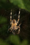European garden spider (Araneus diadematus). When feeding on their net Stock Photo