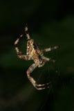 European garden spider (Araneus diadematus). In their Net Stock Images