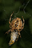 European garden spider (Araneus diadematus). When eating their prey  in their Net Stock Photo