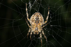 European garden spider (Araneus diadematus) Royalty Free Stock Photo