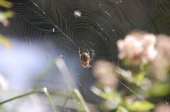 European garden spider (Araneus diadematus). An european garden spider on its web Royalty Free Stock Photo