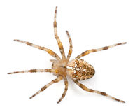 European Garden Spider, Araneus Diadematus Stock Images