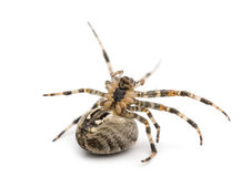 European garden spider, Araneus diadematus Royalty Free Stock Photo