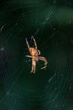 European garden spider Araneus diadematus. Royalty Free Stock Images