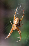European garden spider Araneus diadematus closeup. European garden spider Araneus diadematus close up in net Stock Photo