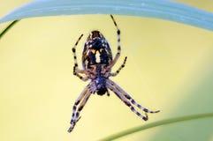 European garden spider (araneus diadematus). European garden spider, diadem spider or cross orbweaver. big beautiful spider close up Stock Image