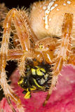 European garden spider Royalty Free Stock Photo