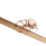 The european garden spider, araneus diadematus, female on white Stock Image
