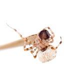 The european garden spider, araneus diadematus, female on white Royalty Free Stock Images