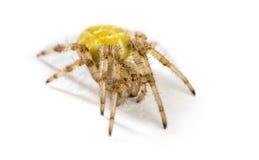European garden spider. Araneus diadematus in front of a white background Stock Image