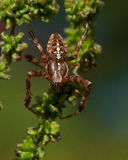 The European garden spider, Araneus diadematus. In a green plant Royalty Free Stock Photo