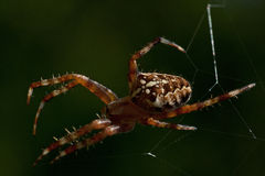 The European garden spider, Araneus diadematus Stock Photography