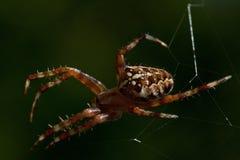 The European garden spider, Araneus diadematus. In its web Stock Photography