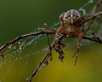 The European garden spider, Araneus diadematus Stock Photo