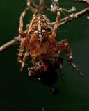 The European garden spider, Araneus diadematus. The spider kills a victim. The fly in a web Stock Image