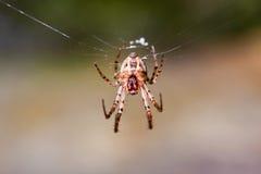 European garden spider Araneus diadematus. Large orb web of Araneus diadematus European garden spider Stock Photo