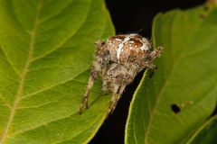 European garden spider (Araneus diadematus) Royalty Free Stock Images