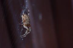 European garden spider (Araneus diadematus). Macro photo of European garden spider (Araneus diadematus Stock Photos