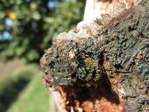 European garden spider Araneus diadematus on old pear tree trunk.  Stock Photos