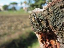 European garden spider Araneus diadematus on old pear tree trunk.  Royalty Free Stock Images