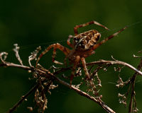 The European garden spider, Araneus diadematus. In a plant Royalty Free Stock Photography