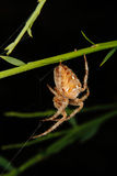 European garden spider (Araneus diadematus) Royalty Free Stock Photos